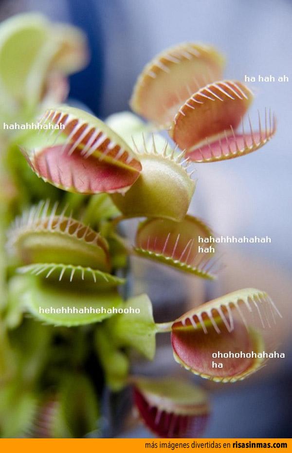 Plantas risívoras