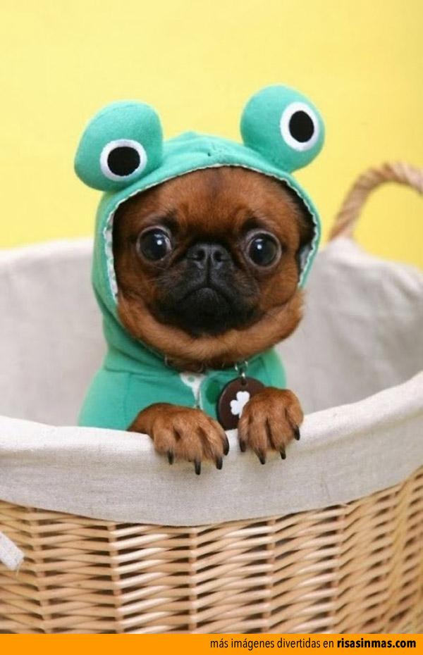 Pug listo para Halloween