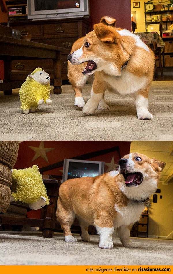 Terrible pelea entre un perro y una oveja