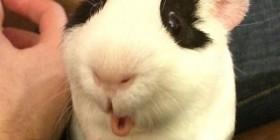Cobaya sorprendida por una zanahoria
