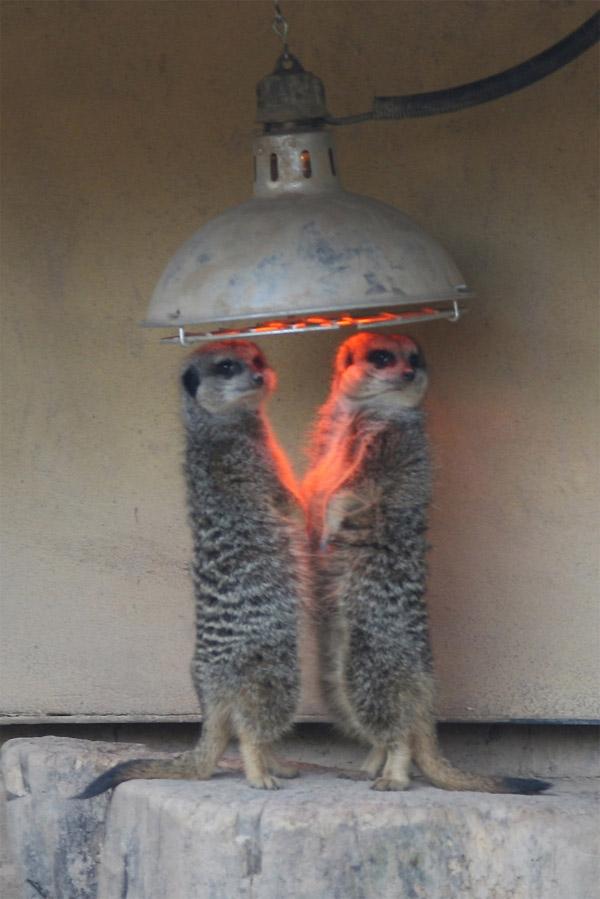 Hace frío para los suricatos