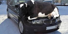 Me he puesto vaca en el coche