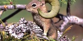 Nueva raza de ardilla-cabra