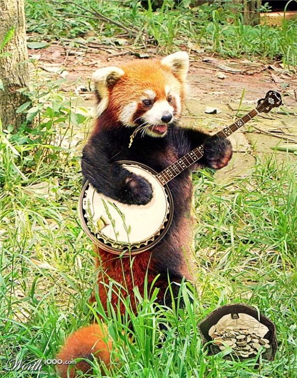 Panda rojo tocando el banjo