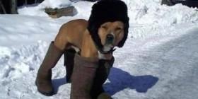 Perro preparado para el frío invierno