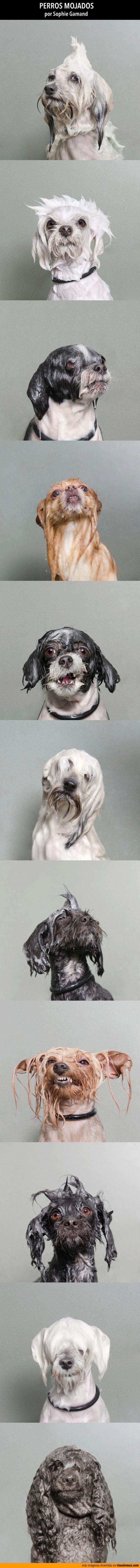 Perros mojados