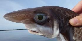 Tiburón tristón