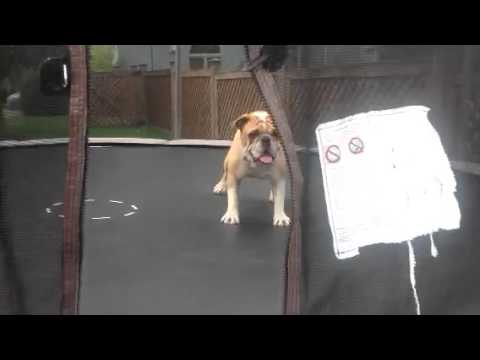 Bulldog descubre una cama elástica