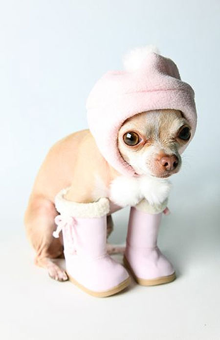 Chihuahua preparado para el invierno