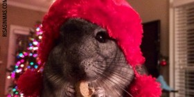 Chinchilla con gorro