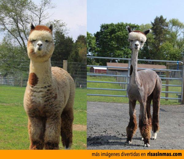 Antes y después de la peluquería