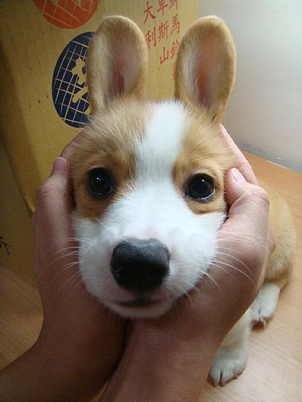 Corgi-conejo