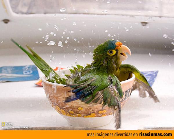 El baño del loro