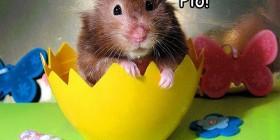 Hamster pollito