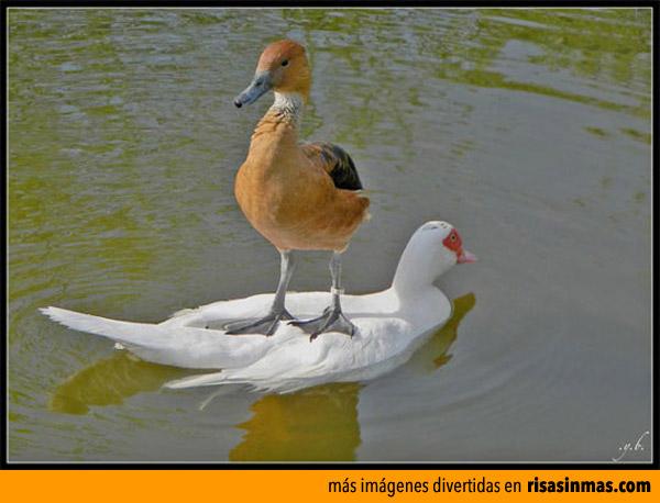 Pato taxi