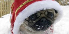Pug Noel