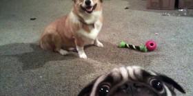 Pug hace una fotobomba a un corgi