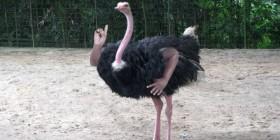 Mutación genética de un avestruz