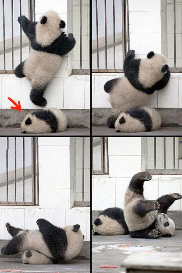 El profundo sueño de un panda