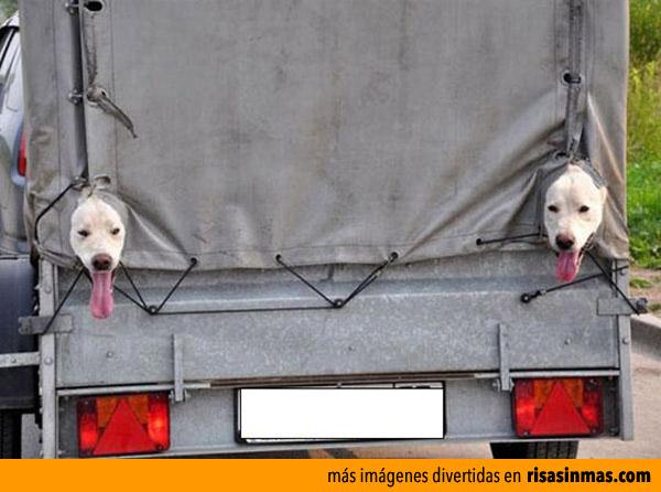 Perros guardando el camión