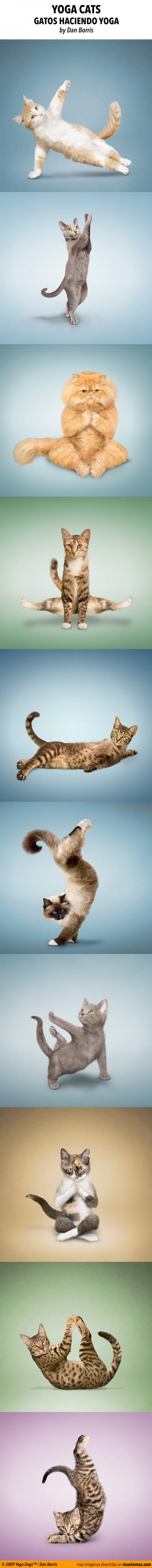 Yoga cats, gatos haciendo yoga