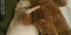 Hurón dormido