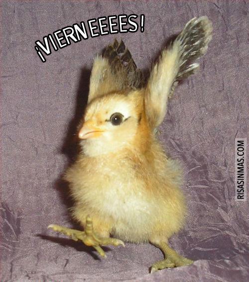 Pollito feliz