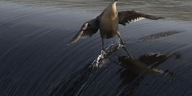 Pato surfeando