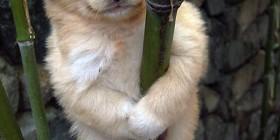 Perrete koala