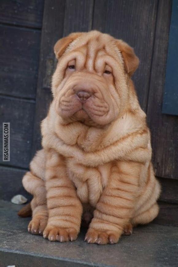El perro más arrugado del mundo