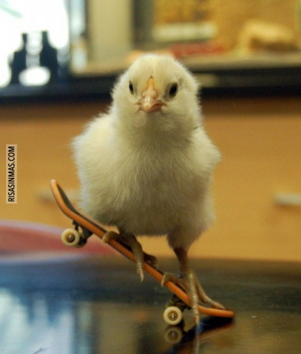 Pollito skater