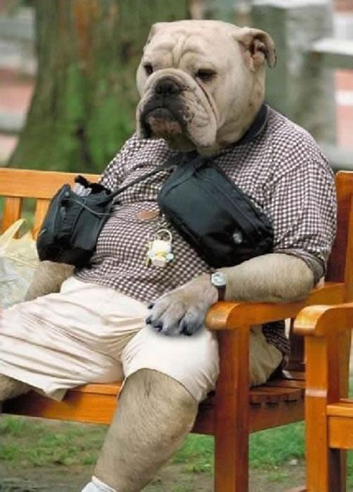 Señor Bulldog