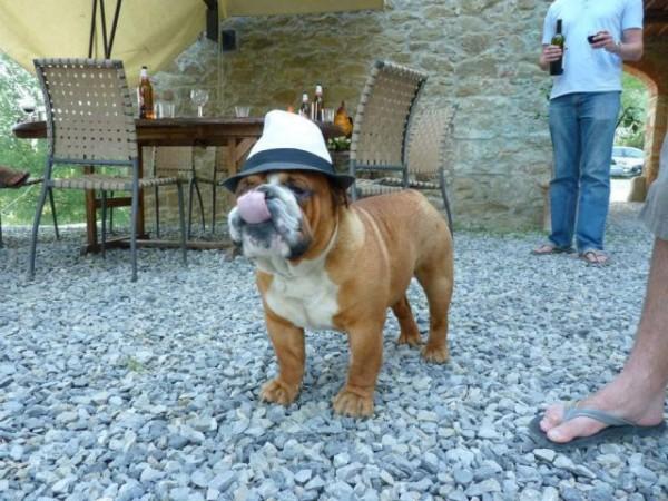 Sr. Bulldog