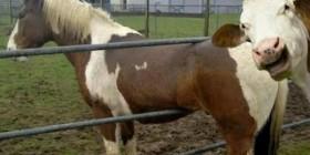 Una vaca haciendo una fotobomba