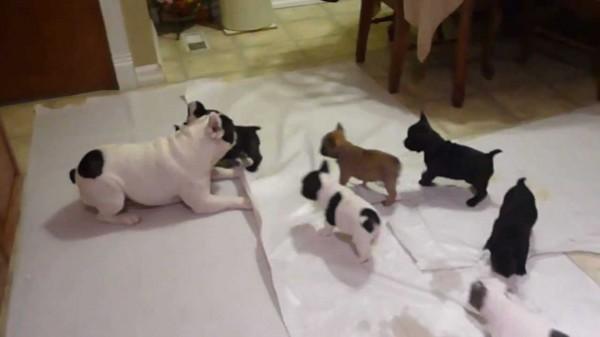 Bulldog francés jugando con sus crías
