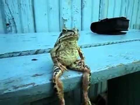 Una rana sentada como una persona