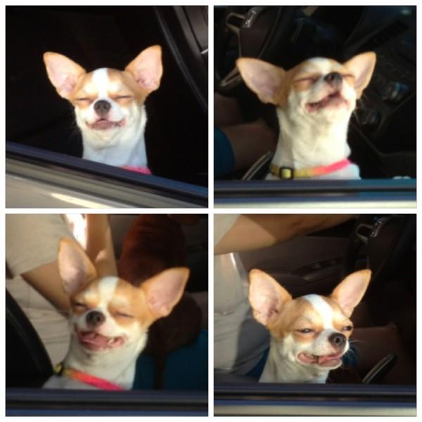 Chihuahua disfrutando de su momento