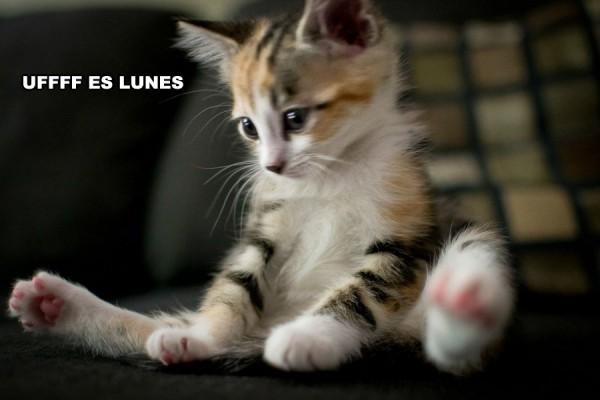 Gatito pensando que es lunes