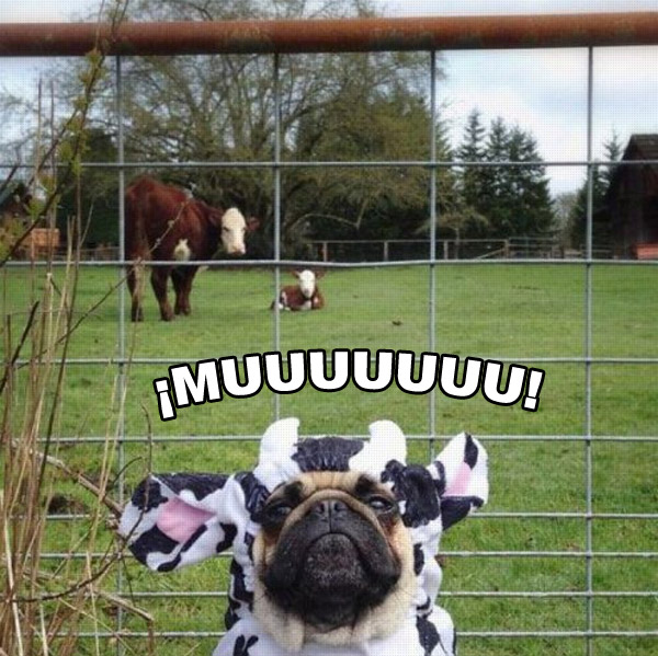 Soy una vaca