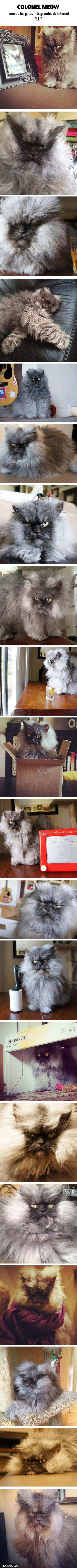 Colonel Meow, uno de los gatos más grandes de Internet