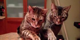Dueto de piano para dos gatos