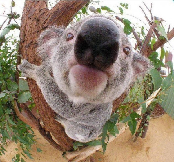 El koala más gracioso del mundo