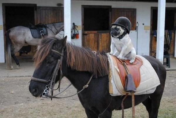 Pug en su primera clase de equitación