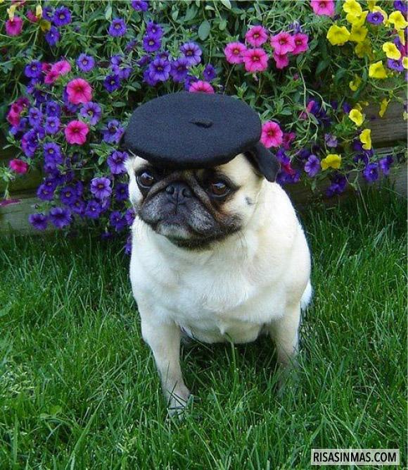 Pug francés