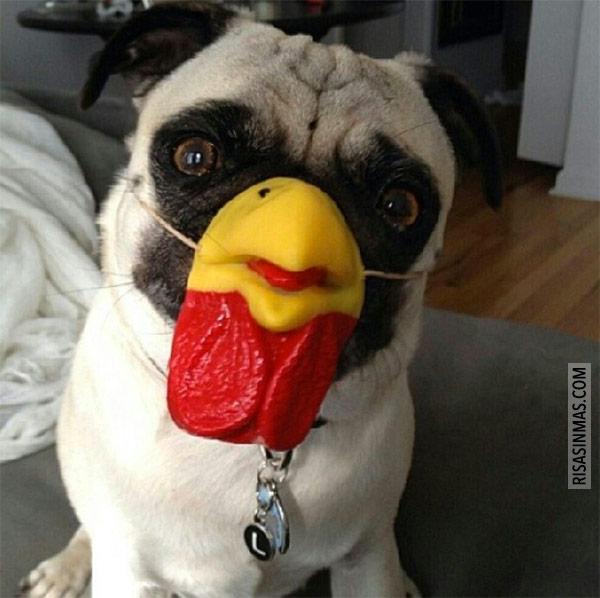 Pug pollo