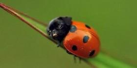 Ladypug