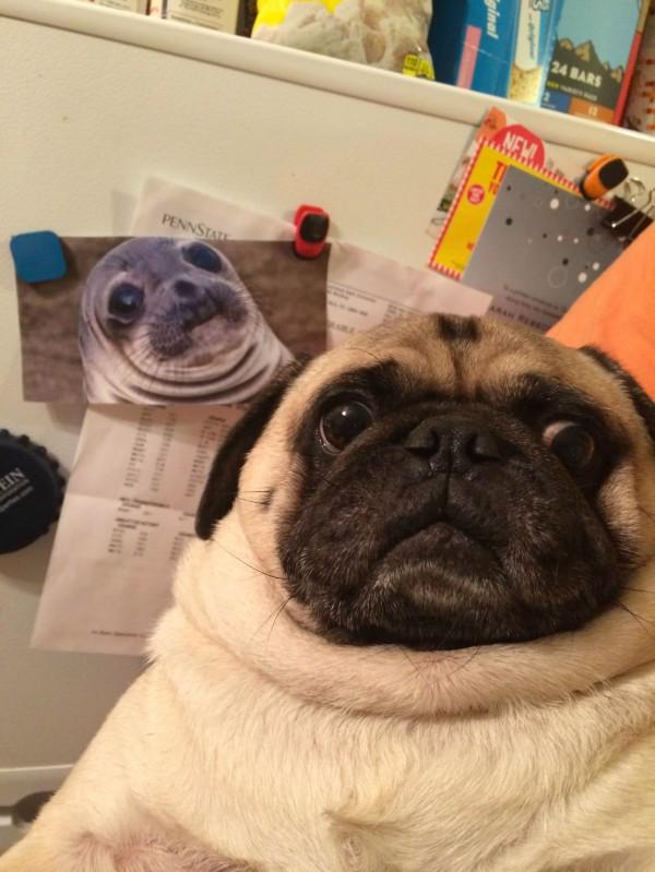 Parecidos razonables: Pug y foca