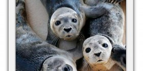 La moda de las selfies llega a las focas