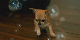 Chihuahua explotando pompas de jabón