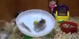Muérete de risa con estos hamsters